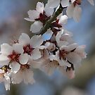 Almond Blossom by Pamela Jayne Smith