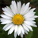 English Daisy (Bellis Perennis) by SKNickel