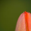 Red Tulip On Green Background by seawhisper