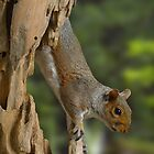 Grey Squirrel by TheWalkerTouch