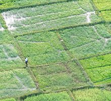 Dambulla Sri Lanka Agriculture aerial.  As the morning light appears in east a farmer peruses his crop in the fields surrounding Dambulla. by stuwdamdorp