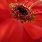 *Red Gerbera from Bouquet* by EdsMum