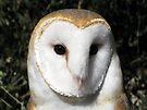 Barn Owl ~ Close-Up by Kimberly Chadwick