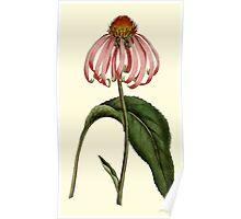 Purple Rudbeckia Flower Botanical Poster
