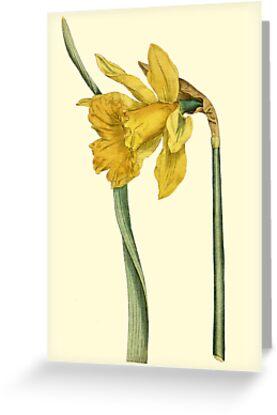 Daffodil Flower Botanical by Zehda