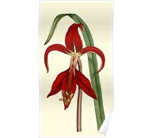 Amaryllis Flower Botanical Art Poster