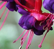 Fuschias by Ruth Durose
