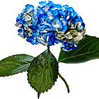 Blue Hydrangea With Leaves by Susan Savad