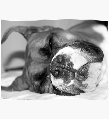 Fawn boxer dog sleeping Poster