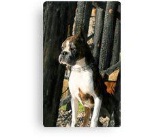 Senior Brindle boxer dog Canvas Print
