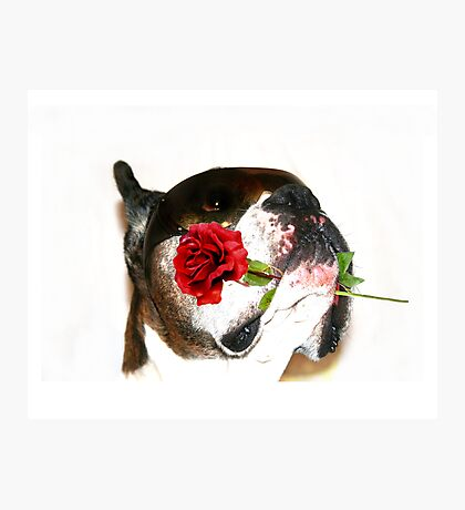Boxer dog with rose Photographic Print