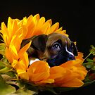 Boxer puppy in sunflower by ritmoboxers