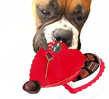 Boxer dog eating chocolates by ritmoboxers