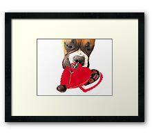 Boxer dog eating chocolates Framed Print