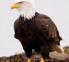 Bald Eagle:  Mature Adult on the Beach by David Friederich
