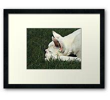 White boxer dog sleeping Framed Print