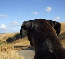 Boxer dog overlooking the horizon by ritmoboxers