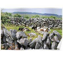 Stone walls and cattle at rest Poster