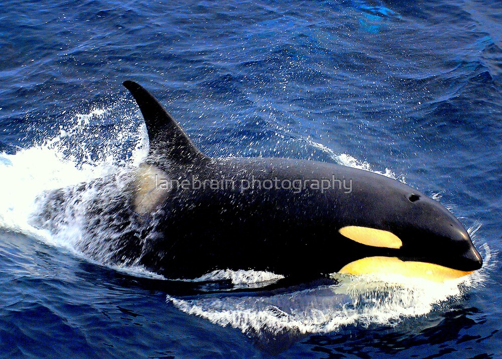 Splash ~ Killer Whale #13 by lanebrain photography