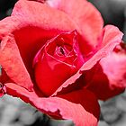 Red Rose Splash by Roger Passman