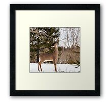 Deer Seeking Maple Syrup Framed Print
