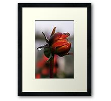 Dahlia in Autumn Framed Print