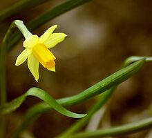 Daffodil by Hilary Walker