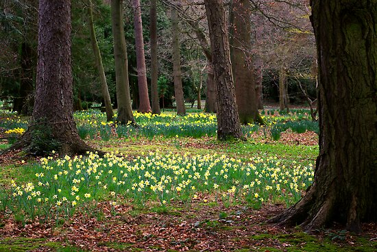 A Walk in the Woods - Spring Daffodils by Trevor Kersley