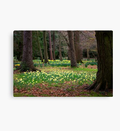 A Walk in the Woods - Spring Daffodils Canvas Print