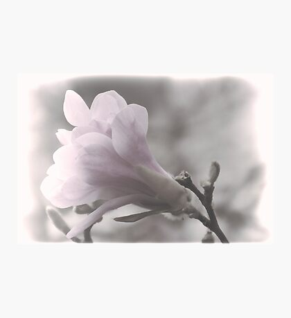 Pale Beauty........... Photographic Print