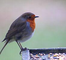 Bird table Robin... by jdmphotography