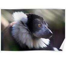 Ruffed lemur..... Poster