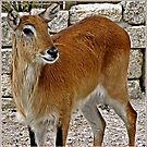 """"""" The Lechwe Antelope"""" by mrcoradour"""