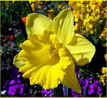 Glorious daffodil. by daffodil