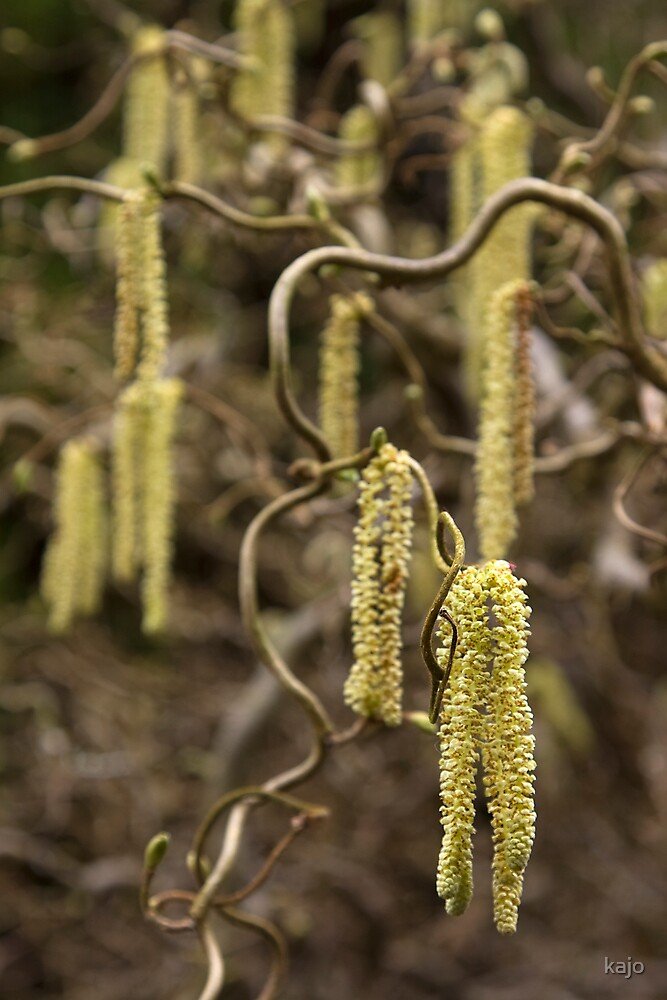Catkins by kajo