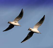 gull's in flight by shaun pearce
