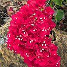 Bougainvillea Flower Cluster by Kenneth Keifer