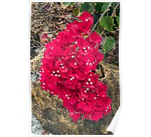Bougainvillea Flower Cluster Poster