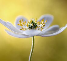 Nemorosa by Mandy Disher