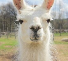 Are You My Llama? by Darlene Virgin