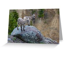 Bighorn Lambs Looking Into Canyon Greeting Card