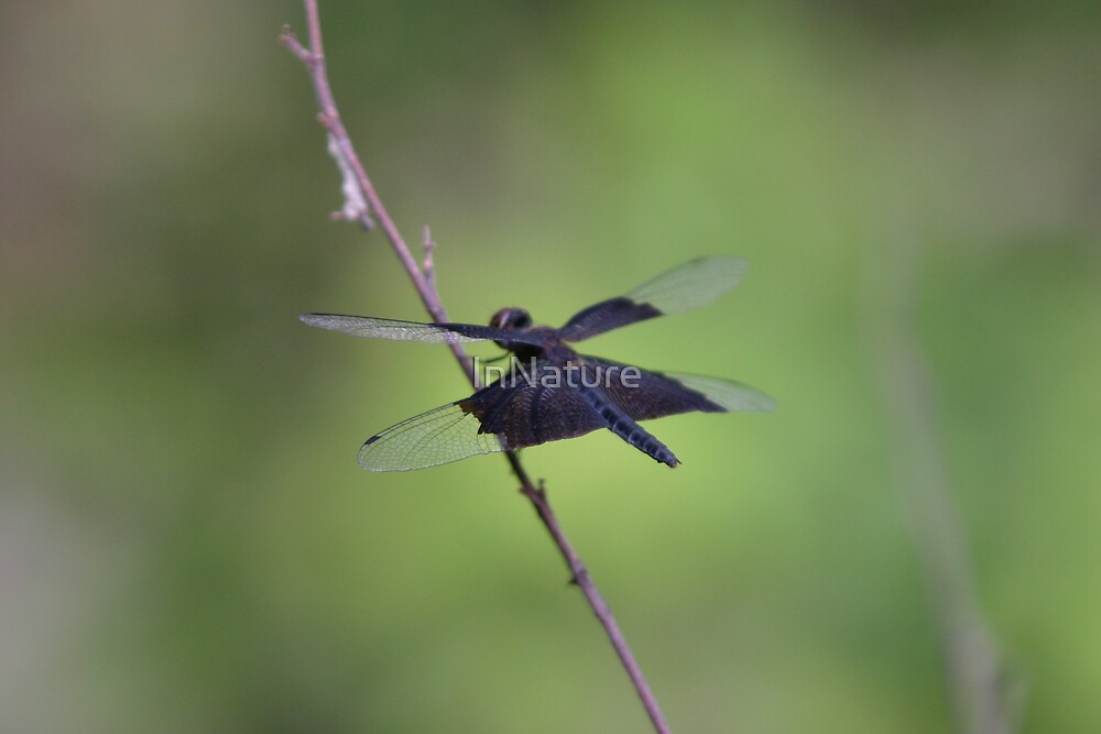 Black Dragonfly by InNature