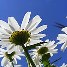 Lookin Up Through Daisies by NancyC