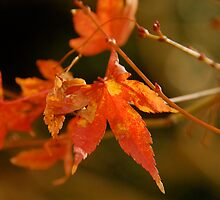 autumn leaf by eliamazor