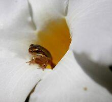 little froglet in a flower by robmac