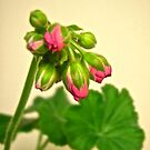 Geranium Buds - all products by Shulie1
