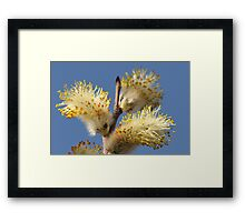 Pussy Willow and Blue Sky Framed Print