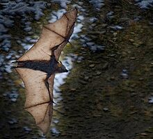 Gundeevi in full flight by Steve  Woodman