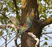 'MATES!' A pair of Red Rumped Parrots. 'Arilka' Adelaide Hills. by Rita Blom