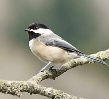 Black Capped Chickadee by imarkimages